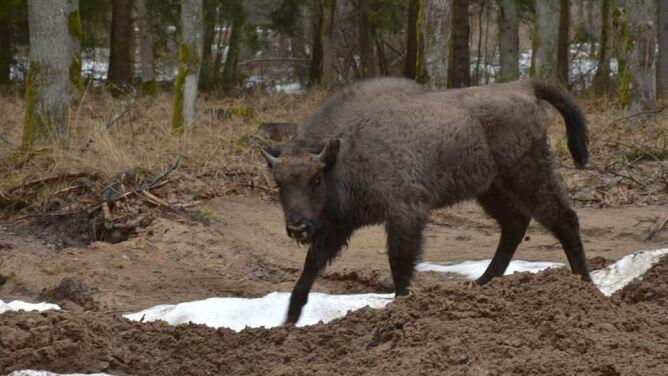 Żubry zamieszkały w Puszczy Rominckiej. Stado będzie się powiększać