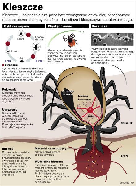 Kleszcze, groźne pasożyty zewnętrzne człowieka (PAP/Adam Ziemienowicz)