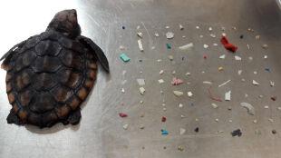 Martwy żółw na plaży. Zjadł ponad 100 kawałków plastiku