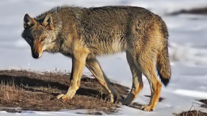 W Norwegii chcą odstrzelić 70 procent wilków, choć to gatunek krytycznie zagrożony